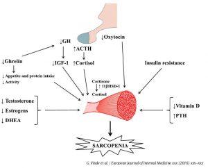 hormones and sarcopenia